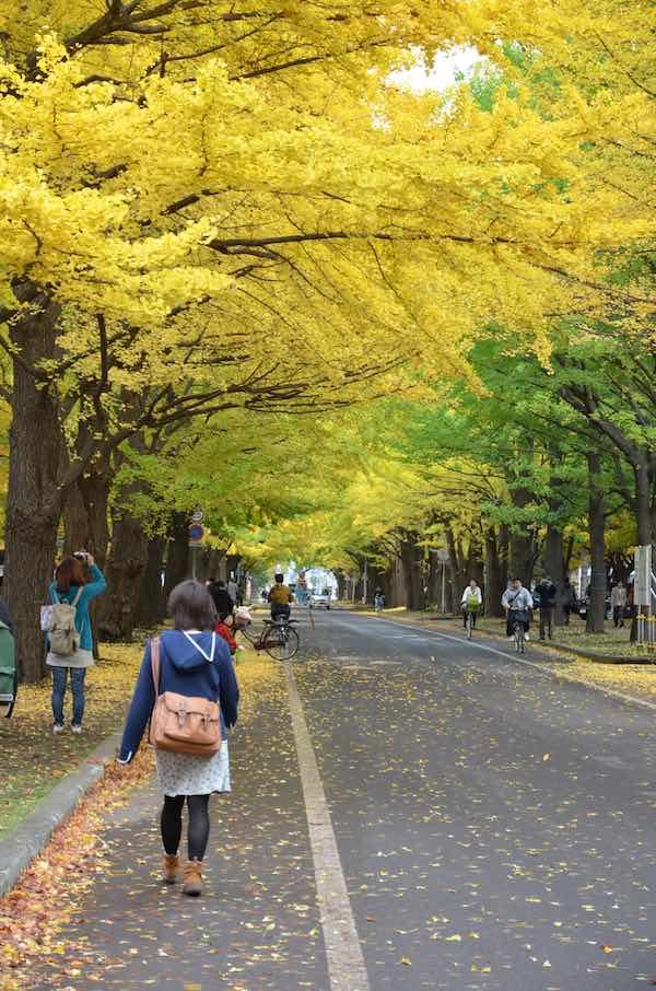 秋のイチョウ並木(13条通り)。北大キャンパス内は、紅葉を楽しむ観光客や市民であふれかえる。